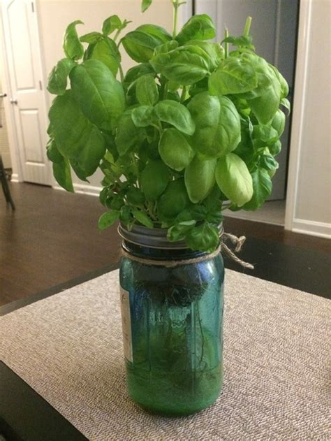 indoor plant dying indoor self watering basil plant dying