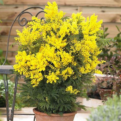 mimosa pianta in vaso mimosa acacia dealbata acacia dealbata piante da