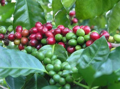 pohon kopi oromia kaffa wild rain forest coffee news