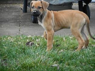 rhodesian ridgeback puppies ohio view ad corso rhodesian ridgeback mix puppy for sale