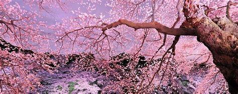 fiore di ciliegio giapponese ciliegi in fiore in giappone anche lisbona quattro mete