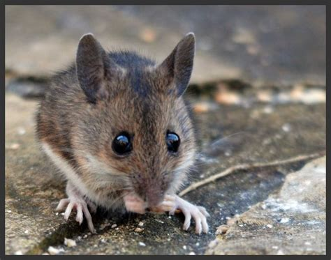 house mouse bites cute house mouse www pixshark com images galleries with a bite