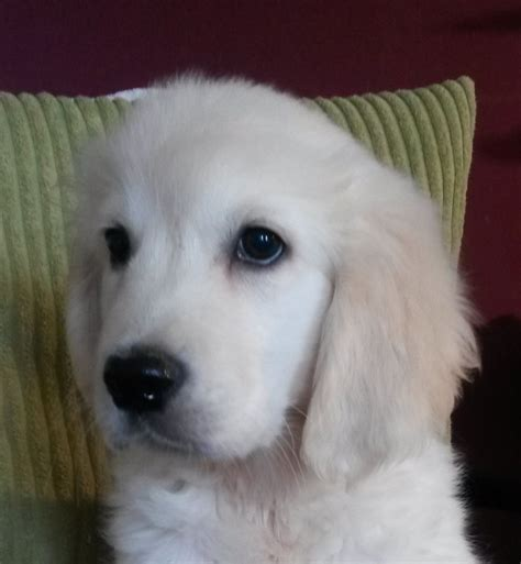 boy names golden retriever pin golden retriever boy names image search results on
