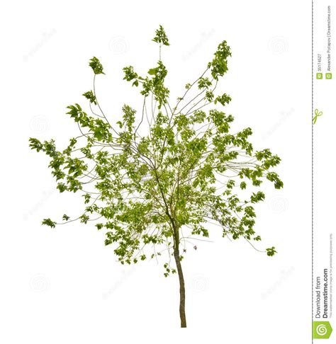 small white tree isolated small tree with green leaves royalty free stock