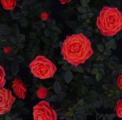 piante da giardino con fiori fiori da giardino piante semi e bulbi tuttoverde
