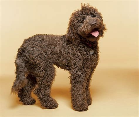chocolate doodle indiana 1000 ideas about australian labradoodle on