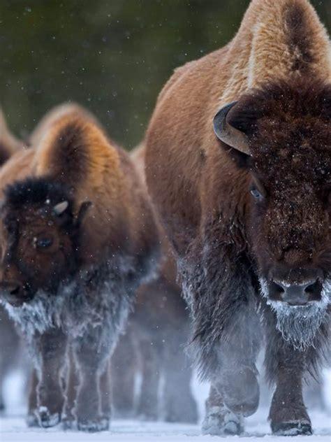 bison ynp bing wallpaper