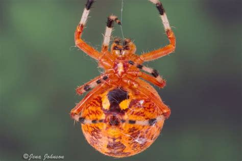 Garden Spider Orange Orange Garden Spider Science360 News Service National