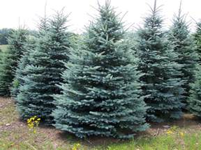 colorado blue spruce st thomas trees