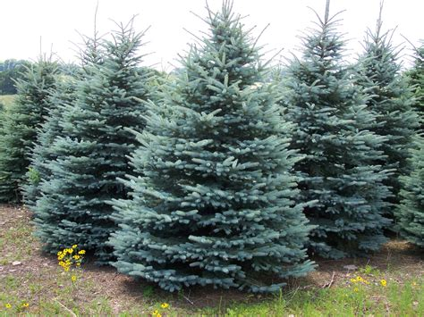 colorado blue spruces