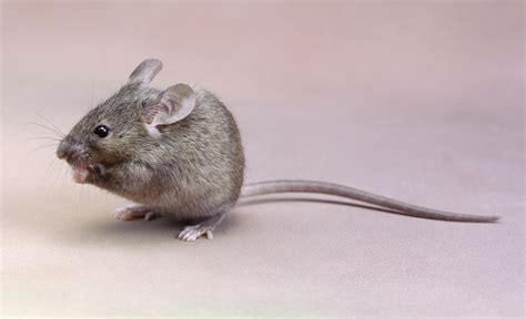 house mouse choosing a good exotic pet for kids