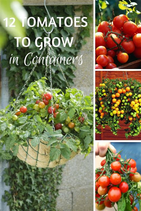 cherry tomato container gardening 25 best ideas about container vegetable gardening on