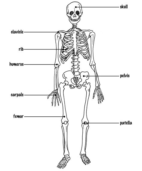 simple bone diagram simple skeletal system labeled www pixshark images
