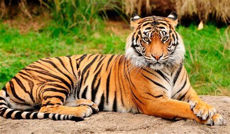 minicuentos de tigres y tigre felino m 225 s bonito del mundo im 225 genes y fotos