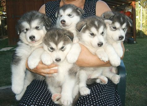 malamute mix puppies alusky husky malamute info puppies and pictures