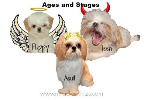 shih tzu follows me everywhere surviving the shih tzu adolescence stage