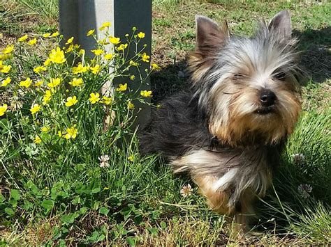 american yorkie terrier for sale by robin hutson american kennel club
