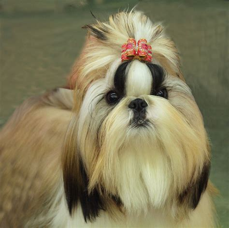 shih tzu hair care grooming tips for your shih tzu shih tzu city
