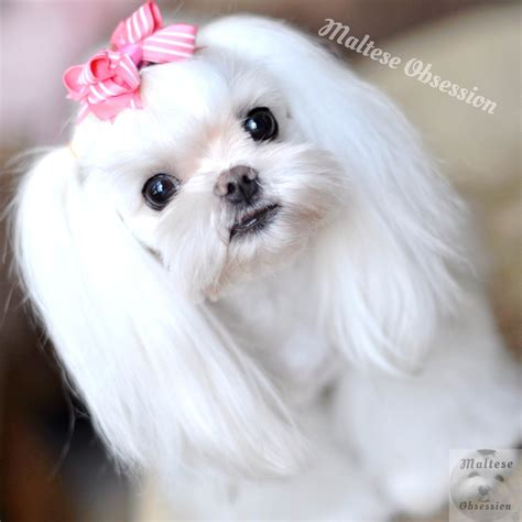 different maltese haircuts maltese grooming styles about maltese obsession adopt a