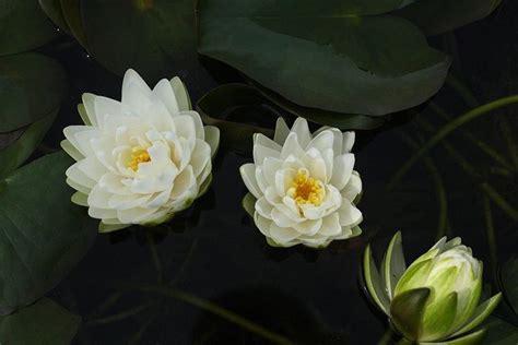 fiori di ninfea nymphaea nymphaea piante acquatiche nymphaea
