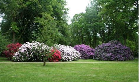 fiore rododendro rododendro linguaggio dei fiori rododendro