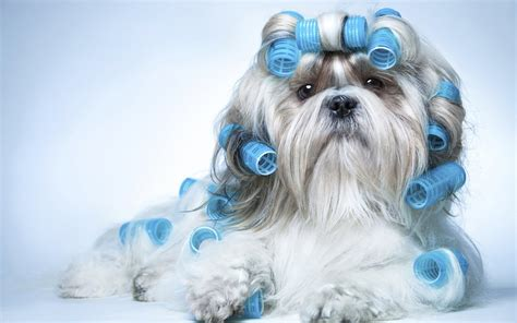 shih tzu don t shih tzu 915542 walldevil