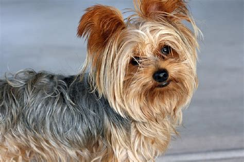 how to house a yorkie puppy terrier