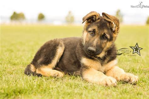 German shepherds german shepherd dogs and german shepherd puppies