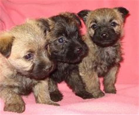 pug and cairn terrier mix puppies on 26 pins