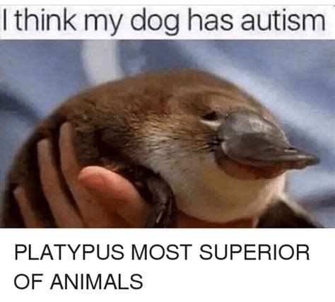 Platypus Meme - think my dog has autism platypus most superior of animals