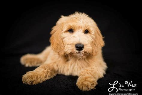 yankee doodle puppy goldendoodle puppies standard poodles for sale in pa