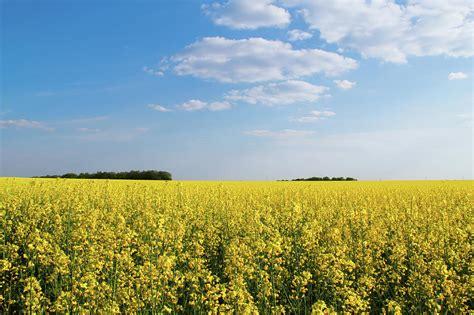 Yellow Landscape Pictures Flowering Buckwheat Yellow Wildflowers Flowering Field