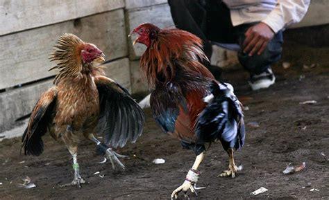 peleas de gallos finos 2015 pelea de gallos finos imagui