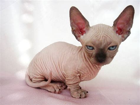 The Five Ugliest Cat Breeds In The World