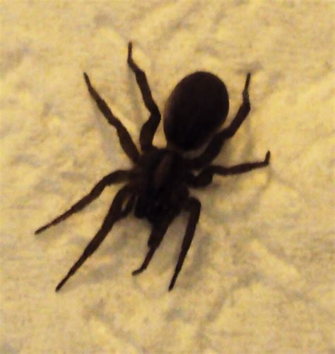5 11 Black Wolf Brown submitted pics wolf spiders michigan spiders