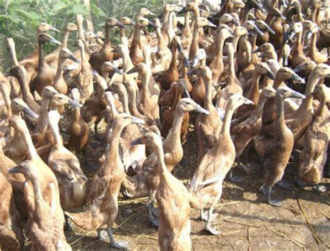Produk Nasa Untuk Bebek Bebek Itik Pedaging Dan Petelur Resmi Nasa 1 panduan budidaya itik bebek peternakan perikanan