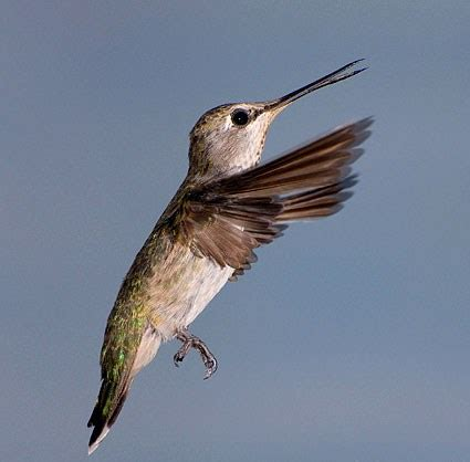 ruby throated hummingbird identification all about birds