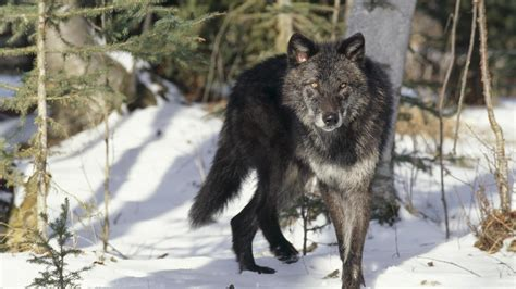 google themes wolf desktop black timber wolf images download