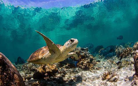 imagenes sorprendentes del oceano tortuga en el oc 233 ano im 225 genes y fotos