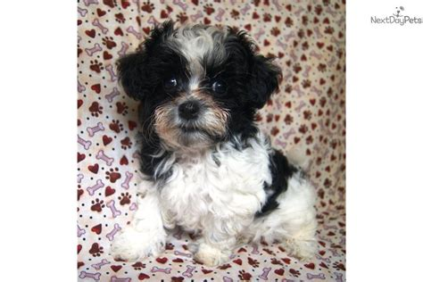 teacup shih poo puppies for sale shih poo shihpoo puppy for sale near akron canton ohio 6d95ffe6 3ec1