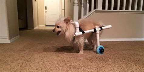 my pomeranian is acting strange builds awesome wheelchair for disabled