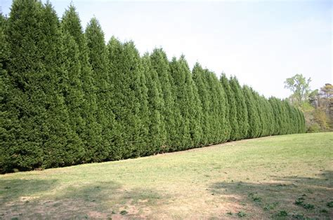 plants for screening walter reeves the georgia gardener