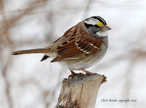 chris bosak nature photographer birds of new england com