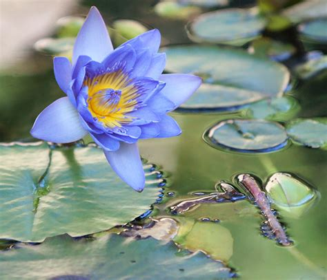 meaning of blue lotus flower blue lotus flower meaning and symbolism mythologian net