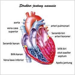 bagian bagian jantung manusia dan fungsinya artikel organ review ebooks