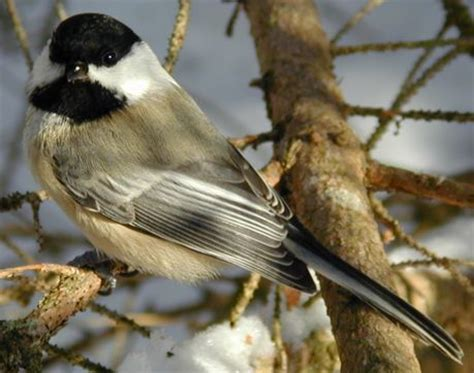 chickadee mating calls fingers animal of the week