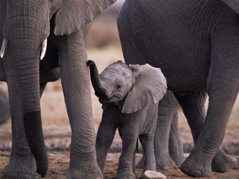 wallpaper elephant cute elephant wallpaper pack 1 1024x768 cute girls