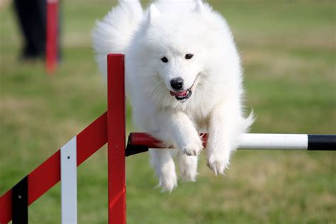 how to your to do agility agility the samoyed club