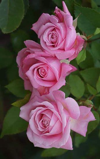 Zedge Imagenes De Rosas | pin do a f l o r do c a m p o em jardim de flores