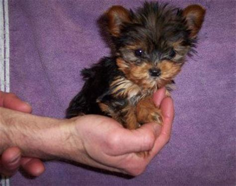 puppies for sale st joseph mo tea cup yorkies for sale adoption from st joseph missouri adpost classifieds